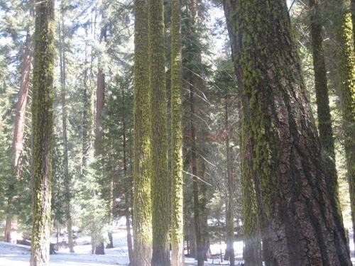 Sequoias 3-09 009
