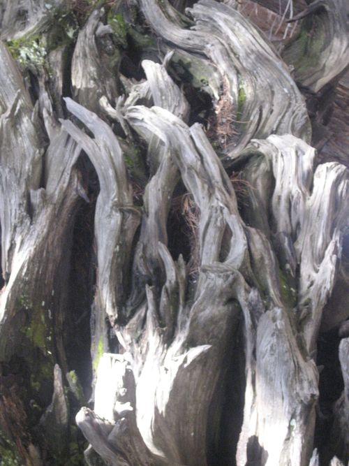 Sequoias 3-09 016